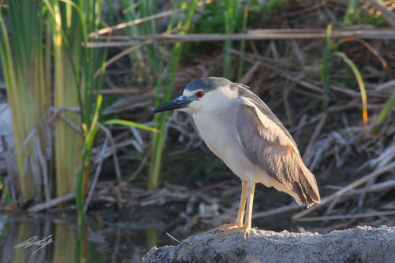 Black-crowned Night-Heron, South Padre Island Birding and Nature Center, Texas.