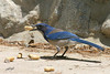 Western Scrub-Jay, Visitor Center, Mt. Baldy, California.
