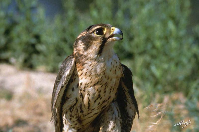 Prairie Falcon, Raptor Rehabilitation, Kuna, Idaho.