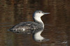 Red-throated Loon, Brownsmead Dike Lane, Brownsmead, Oregon.