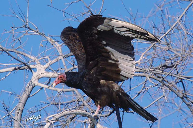 Turkey Vulture, Arivaca Cieniga, Buenos Aires NWR, Arizona.