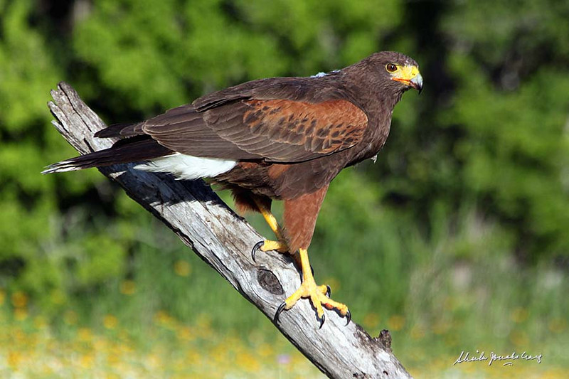 Harris's Hawk. Weaver Cattle Company, Raymondville, Texas.