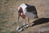 Marabou Stork, Oregon Zoo, Portland, Oregon. Praying for ... flight feathers ... food ...?
