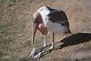 Marabou Stork, Oregon Zoo, Portland, Oregon. Praying for ... flight feathers ... food ...?