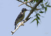 Nuttall's Woodpecker, female, Chino Hills State Park, Chino, California.