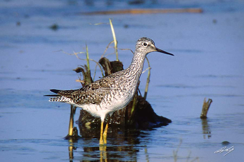 Lesser Yellowlegs, Flint Hills NWR, Hartford, Kansas.