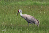 Sandhill Crane, Highway 205, Burns, Oregon.
