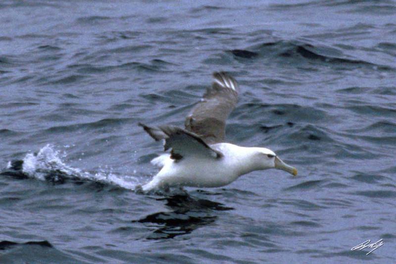 Shy Albatross, Pacific Ocean SW of Newport, Oregon.