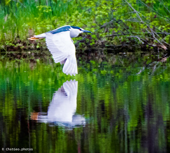 I was watching my son's baseball game, played at the Pingree school, and had the big lens for game shots.  There was a nearby pond and  I spotted this heron type bird crossing the water.  I got a great reflection shot.