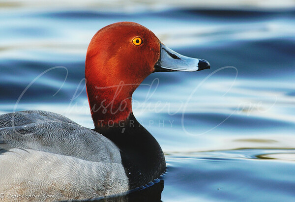 Red Head side view