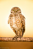 Owl in morning light