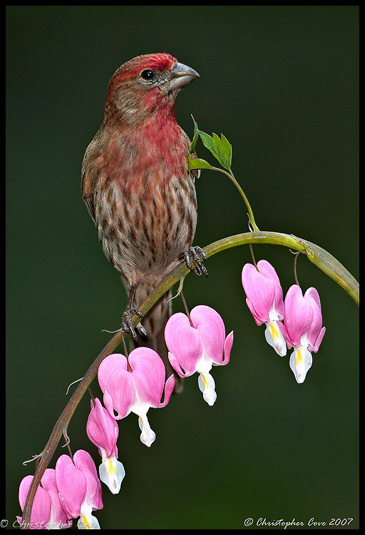 Finch on Bleeding Hearts