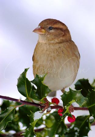 Sparrow on Holly