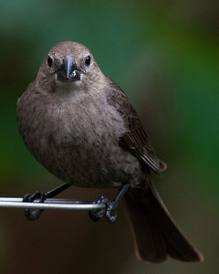 Brown-Headed Cowbird - female - Folly, May 2, 2014