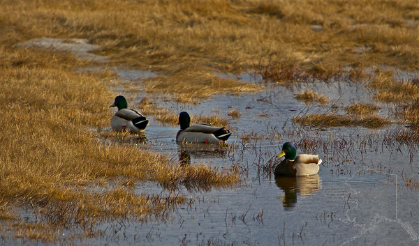 Three Male Mallards.