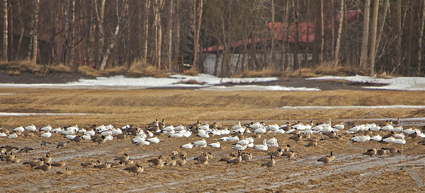 A mixture of Canadian Geese and Snow Geese.