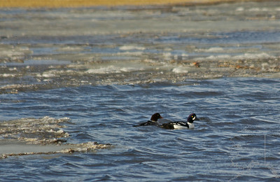 A rare find in the Mat-Su Valley. A mating pair of Common Goldeneye ducks.