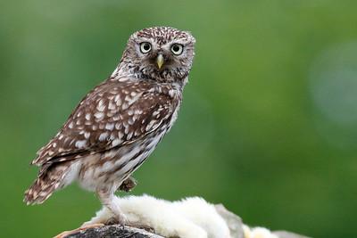 Kirkeugle, Little Owl (Athene noctua), Himmerland, Denmark