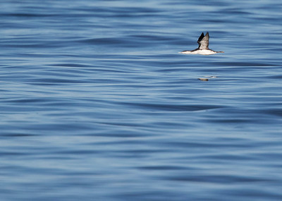 Red-throated loon (Gavia stellata), Rødstrubet lom, on silky calm North Sea