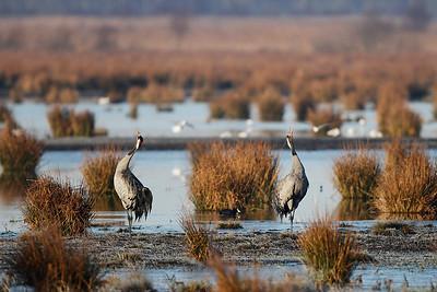 Traner, Common Cranes (Grus grus), Lille Vildmose