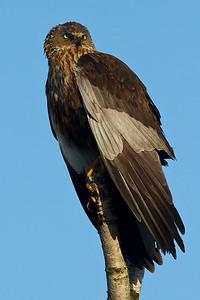 Rørhøg, Marsh Harrier (Circus aeruginosus), Lille Vildmose