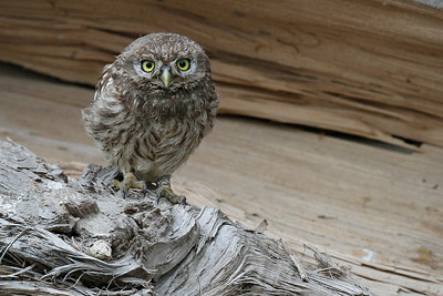 Kirkeugle unge, Little Owl juvenile (Athene noctua), Himmerland, Denmark
