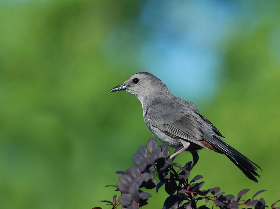 grey catbird; Urbana, Illinois