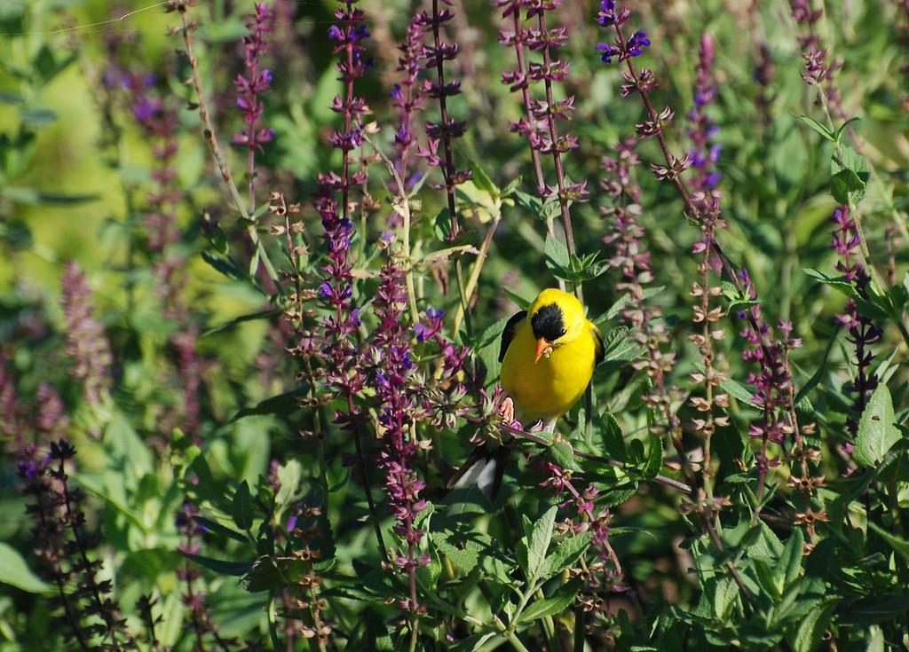 gold finch, Urbana, Illinois
