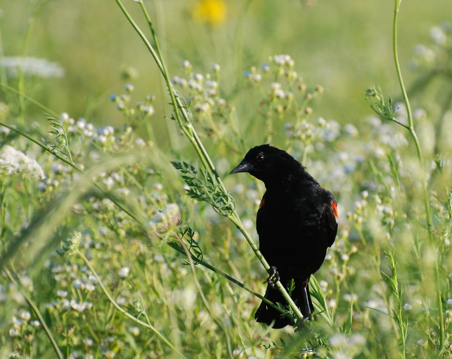 male red-winged blackbird; Illinois