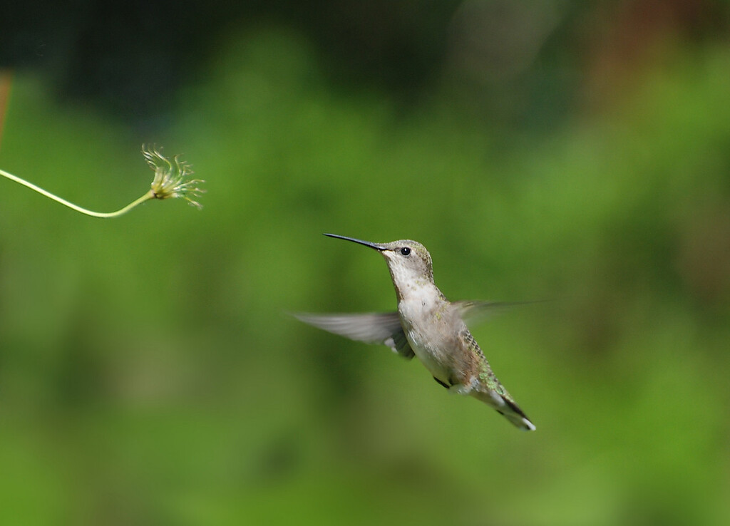ruby throated humming bird; back yard photo