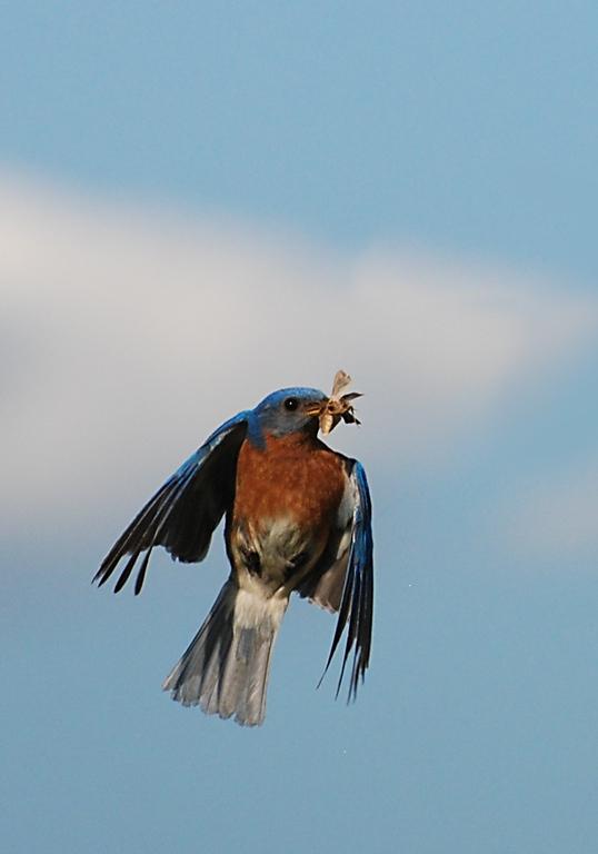 male bluebird; Urbana, Illinois