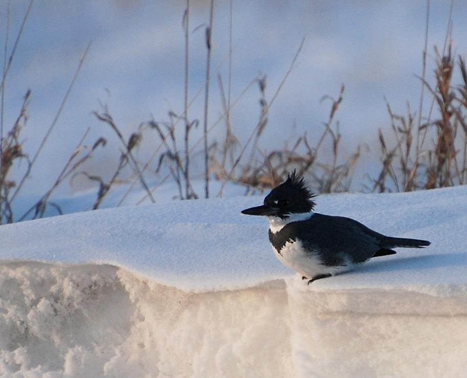 male kingfisher; Champaign, Illinois