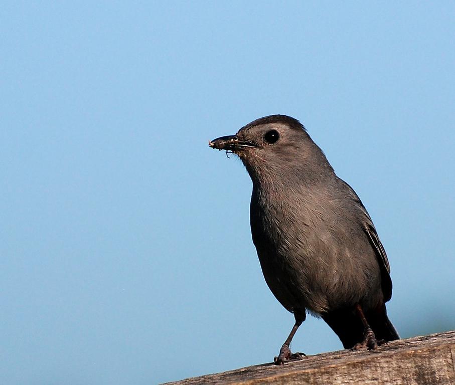 grey catbird; Illinois