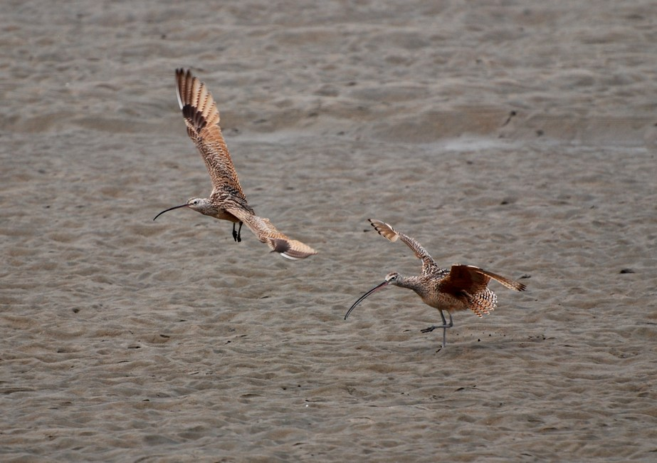 long-billed curlew; San Francisco, California
