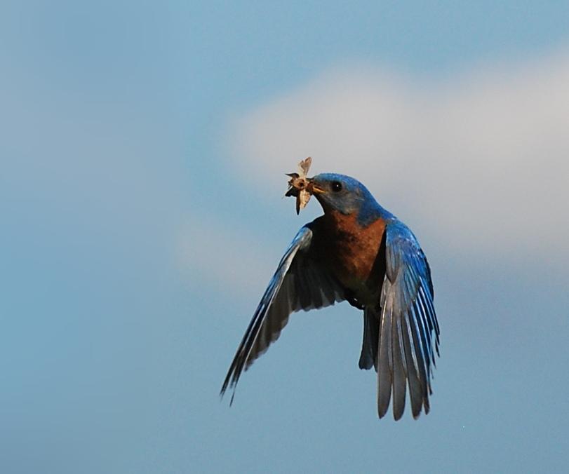 male bluebird; Illinois