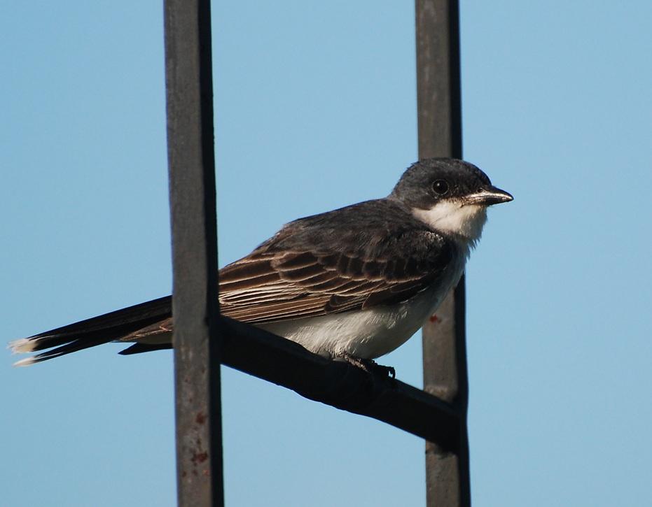kingbird; Illinois