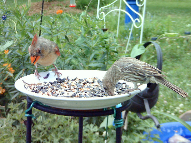 Cardinal and female purple finch.