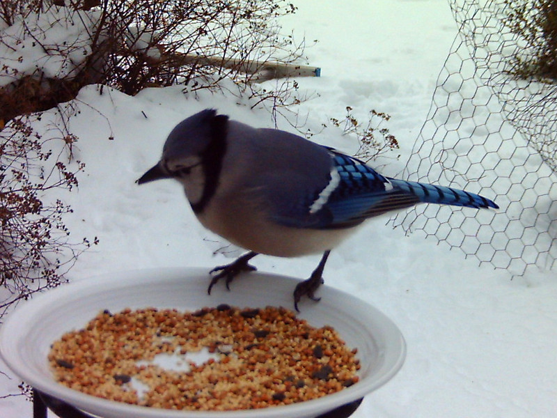Blue Jay<br /> One of the first photos taken with the BirdCam.<br /> This was just before a terrible blizzard hit and dumped a lot of snow on us.