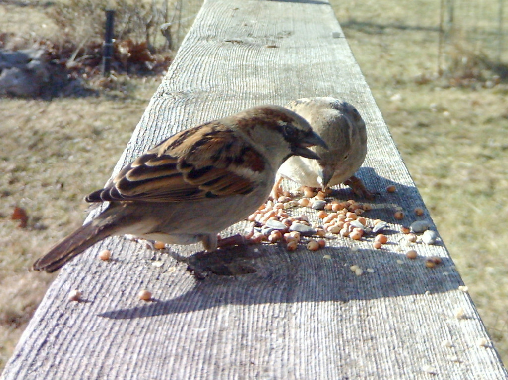 House Sparrows.