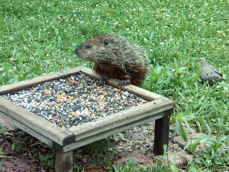 Groundhog visiting the ground feeder.