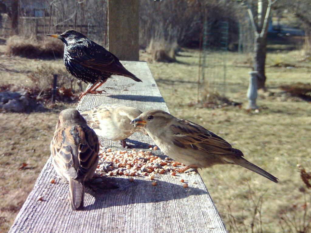 Starling in the background and sparrows in the foreground.