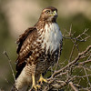 Red-tailed Hawk ~ Juvenile