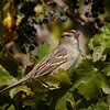 White-crowned Sparrow ~ 1st year
