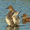 Gadwall ~ Male and Female