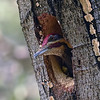 Pileated Woodpecker ~ Male