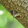 Nuttall's Woodpecker ~ Nestling