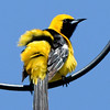Hooded Oriole ~ Male
