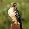 Red-tailed Hawk ~ Leucistic