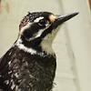 Nuttall's Woodpecker ~ Male