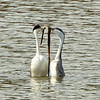 """Western Grebe ~ """"Weed Ceremony"""""""